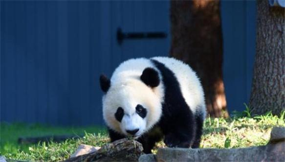 美国出生大熊猫贝贝迎4岁生日 将被送回中国