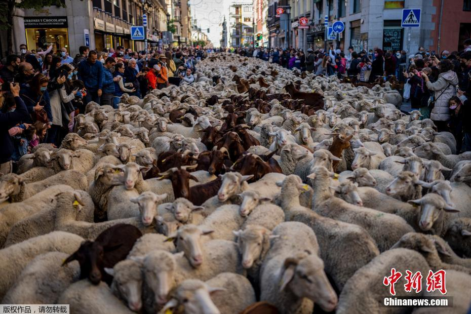 """西班牙马德里迎迁徙放牧节 千只萌羊""""逛大街"""""""