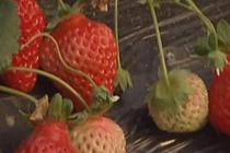 """让草莓""""听音乐"""" 华人打造新型农场"""