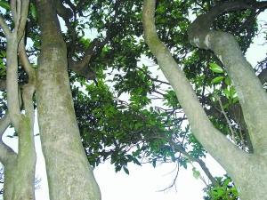 4万多棵古茶树深藏山区