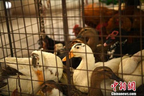 重庆再确诊一例人感染H7N9病例 本月已确诊3例