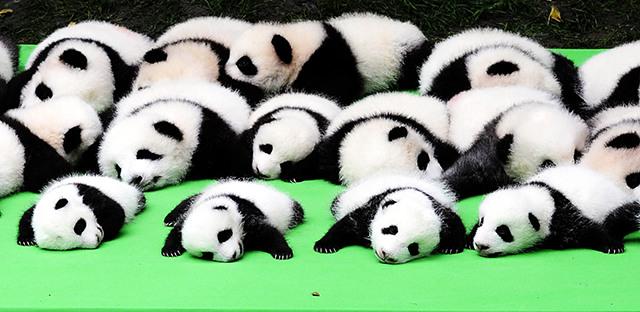 熊猫瘫!成都23只大熊猫幼仔集体亮相