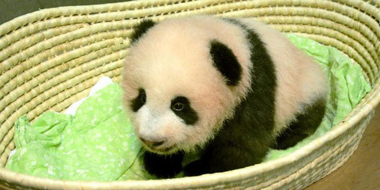 """呆萌!日本新生大熊猫被命名""""香香"""""""