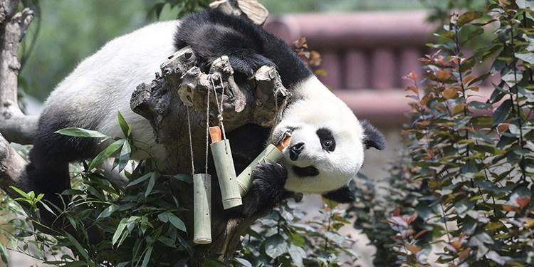 """端午节大熊猫爬上爬下吃""""粽子"""""""