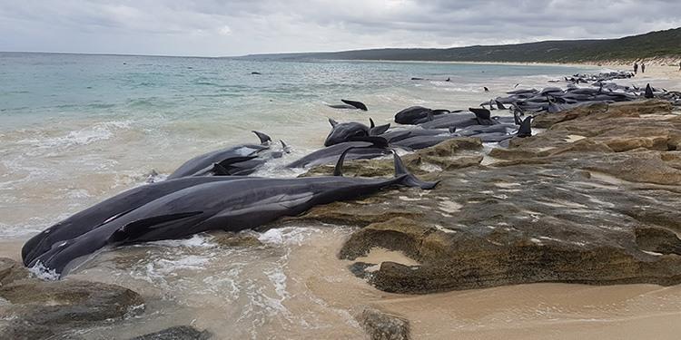 超过150头领航鲸搁浅澳大利亚海滩