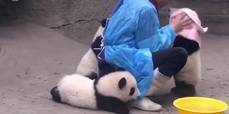萌翻了!4只大熊猫挤破头求搓澡