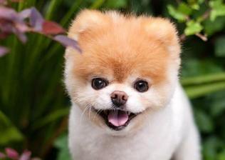 全世界最可爱的狗狗 病逝 活泼开朗 有千万粉丝