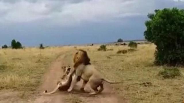 """雌狮路边睡觉 被雄狮吵醒闹""""起床气"""""""
