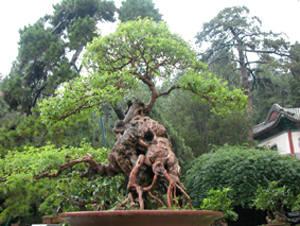 文 颐和园展出精品百年树桩盆景