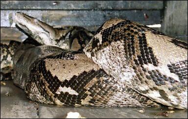 尼西亚捕获世界最大蟒蛇