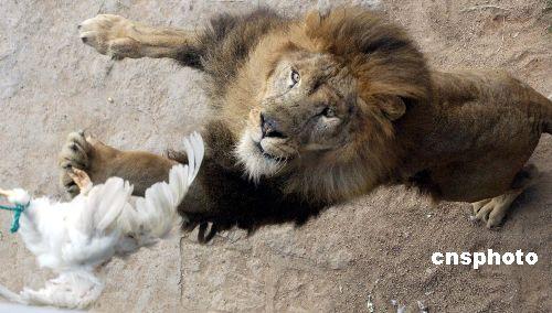 图:放养式野生动物自然保护区狮子捕食小鸡