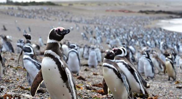 百万企鹅大军涌到阿根廷海滩繁殖 场面壮观创纪录