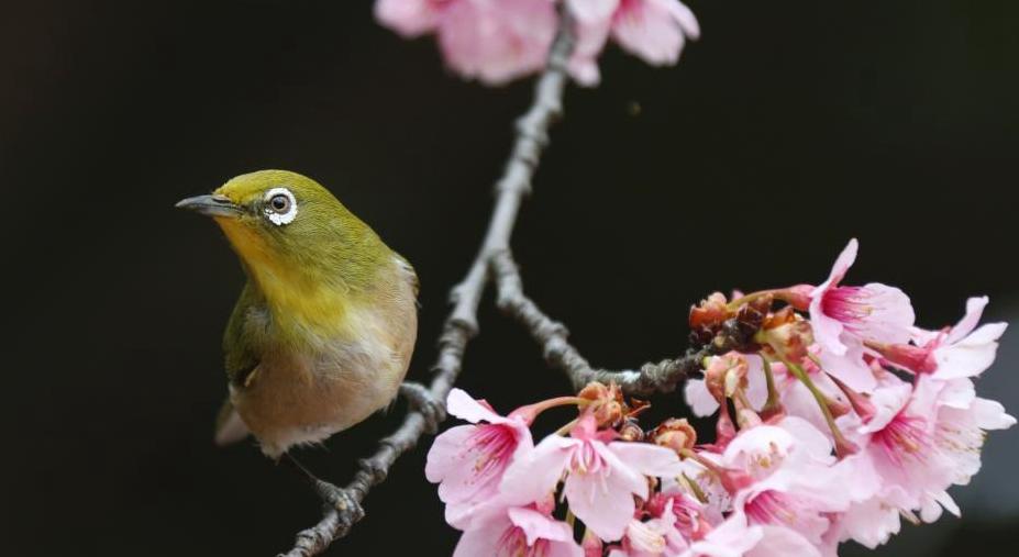 都是极端天气惹的祸?日本大批樱花在秋季罕见绽放