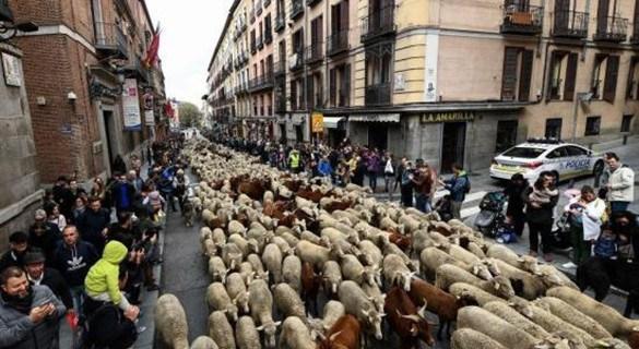 行人靠边!马德里迁徙放牧节 2000只绵羊挤爆市区