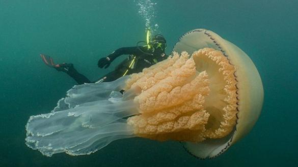 英国西南部海域现巨型桶状水母 体长达1.5米