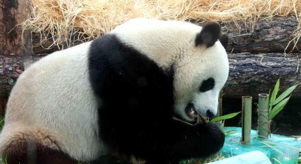 莫斯科动物园为旅俄大熊猫庆生 生日礼物是这些!