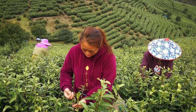 春茶季将至数十万亩茶田或滞销,直播卖茶能自救?