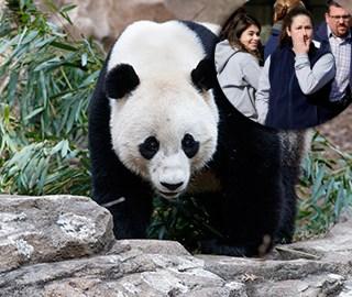 旅美大熊猫启程回国 饲养员含泪惜别