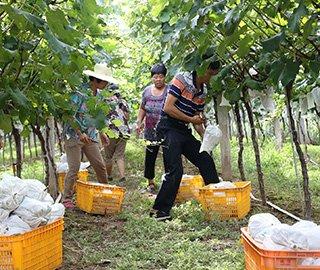 果农滥用催熟药剂 2万斤催熟葡萄被毁
