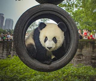 大熊猫保护研究国际摄影大赛作品精选