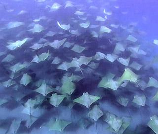"""墨西哥潜水者""""偶遇""""牛鼻鲼群迁徙"""