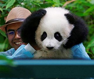 马来西亚新生大熊猫宝宝首亮相