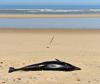 法国大西洋海岸累计超过1100只海豚搁浅