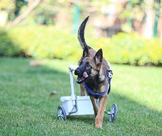 """爱心人员为瘫痪小狗定做""""轮椅""""助行走"""