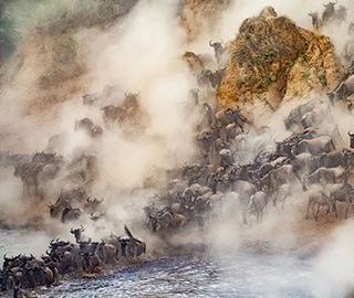 非洲8万牛羚大军正迁徙 尘土飞扬