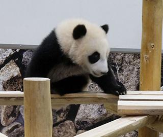 旅日大熊猫户外玩耍 调皮宝宝上线超萌