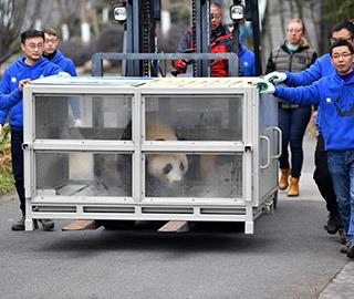 """大熊猫""""华豹""""""""金宝宝""""启程前往芬兰"""