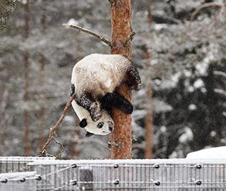 赴芬兰大熊猫雪中玩耍 倒挂金钩