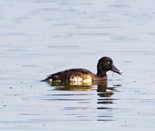 全球极度濒危物种青头潜鸭现身云南