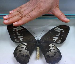 山西昆虫收藏家珍藏世界最大蝴蝶标本