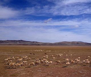 """西藏藏羚羊大规模进入""""迁徙季"""""""