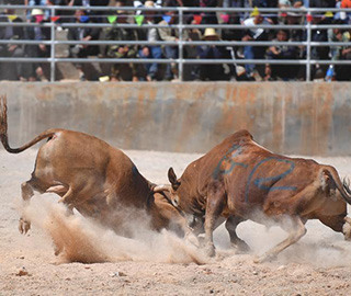云南春节上演传统斗牛比赛