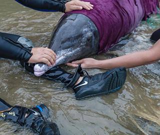 山东荣成民众合力救助野生海豚