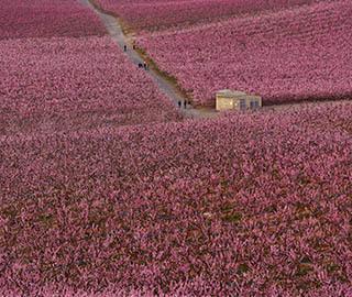 西班牙果园桃花盛开 形成一片粉红色海洋
