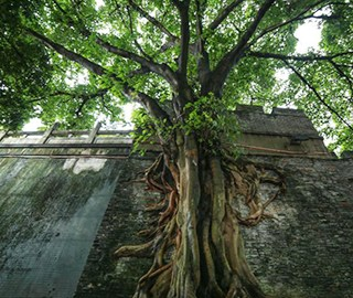榕树撑破古城墙 根系如瀑布倾泻而下