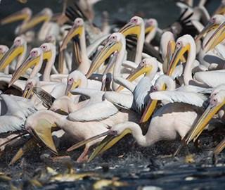 鹈鹕迁徙大军集体觅食 场面壮观