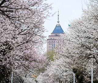 春色满园 吉林大学一校区百株杏花盛开