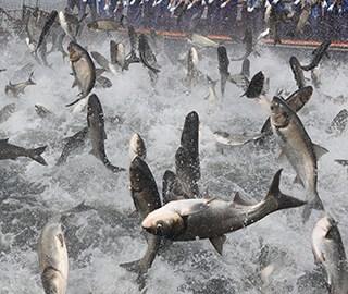 浙江千岛湖现万鱼群跃盛景