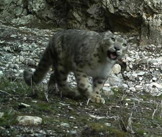 青海祁连山拍摄到多个雪豹影像