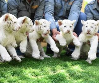 雪虎五胞胎与游客见面 小表情格外呆萌