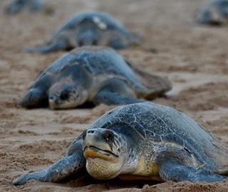 大量海龟聚集印度海滩产卵 场面难得