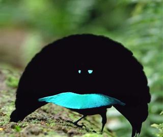 巴布亚发现新鸟类 外形奇特