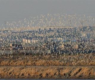 青岛环湾湿地迎上万只黑腹滨鹬过境