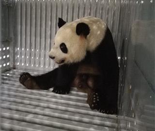 """大熊猫""""梦梦""""""""娇庆""""赴德"""