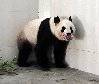 """大熊猫""""郡主""""产下幼仔"""