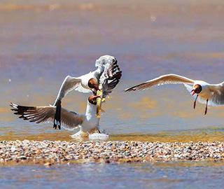 场面激烈!棕头鸥青海荷瓴┢还只略氐侨耄岸边抢食湟鱼